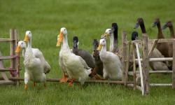 Grippe aviaire : la justice ouvre une enquête pour « tromperie aggravée » dans le Sud-Ouest
