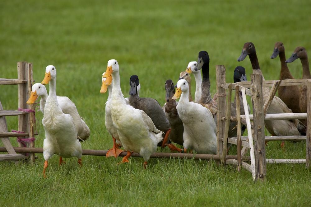 New York interdit le foie gras à partir de 2022 Cdr
