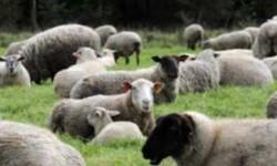 Les animaux sont de retour aux Argoulets… pour tondre la pelouse