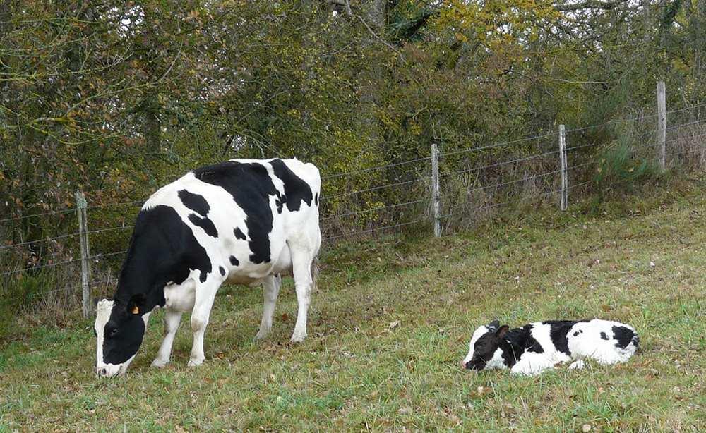 Ariège. Un fermier surveille ses vaches grâce à un drone