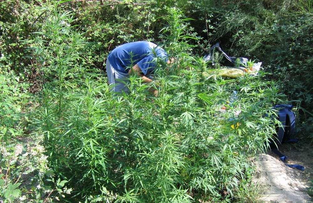 Colomiers. Père et fils cultivaient 22 kilos de cannabis dans leur jardin Illustration cdr