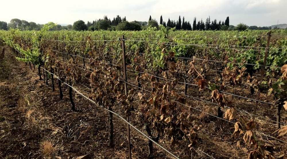Hérault. 12 000 hectares de cultures ravagés par le soleil cet été cdr