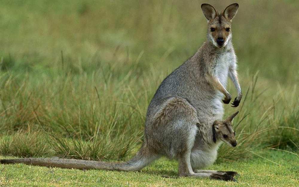 Carcassonne. Un parc animalier au chevet des kangourous d'Australie cdr