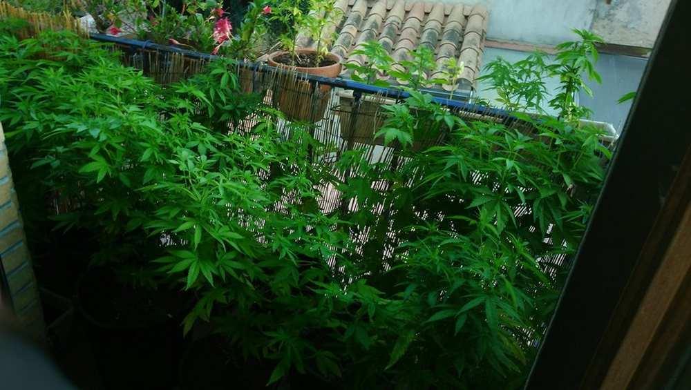 Aude. Venus pour une bagarre, les gendarmes tombent sur des plants de cannabis Photo : gendarmerie de l'aude/dr